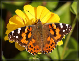 Painted Lady 40D0028918 by Cristian-M