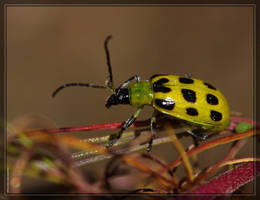 Cucumber Beetle 40D0030710 by Cristian-M