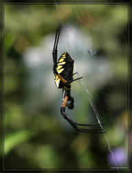 BlackYellow Argiope 40D0024464 by Cristian-M