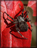 Orb-weaver Spider 40D0030188 by Cristian-M