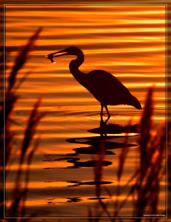 Great Blue Heron 40D0033269 by Cristian-M