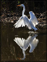 Great White Egret 40D0032160 by Cristian-M