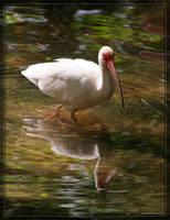 American White Ibis 20D0049518 by Cristian-M