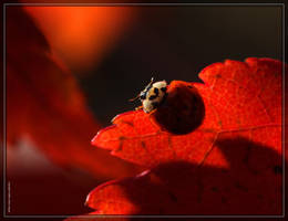 Asian Ladybug 40D0029876 by Cristian-M