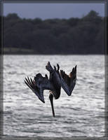 Brown Pelican 40D0027322 by Cristian-M