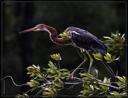 Tricolored Heron 40D0027813 by Cristian-M