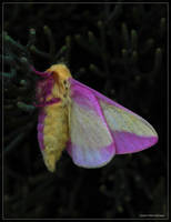 Rosy Maple Moth 50D0000387 by Cristian-M