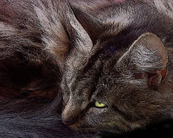 Maine Coon Cat by LilyWyte