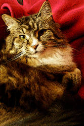 Maine Coon Cat 2 - Brighit by LilyWyte