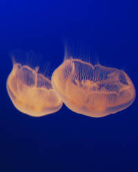 Stock 105 - Jellyfish by pink-stock