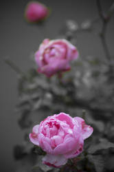 Three steps rose in one go by SchmiedeTraum