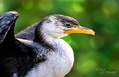 Another Cormorant by PaulaDarwinkel