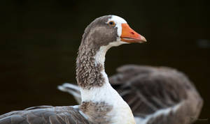 Domestic Goose by PaulaDarwinkel