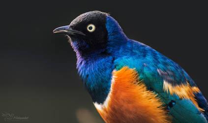 Superb Starling by PaulaDarwinkel