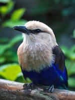 Blue-bellied Roller by PaulaDarwinkel