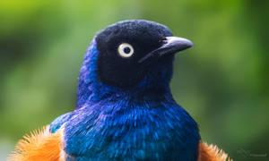 Superb Starling Portrait by PaulaDarwinkel
