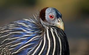 Vulturine Guineafowl by PaulaDarwinkel