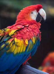 Scarlet Macaw by PaulaDarwinkel