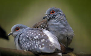 Diamond Doves by PaulaDarwinkel