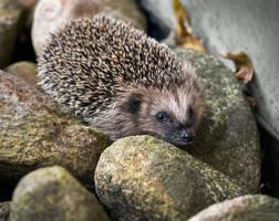 Hedgehog #2 by PaulaDarwinkel