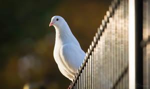 Fantail Pigeon by PaulaDarwinkel