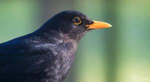 Blackbird by PaulaDarwinkel