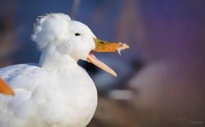 Crested Duck by PaulaDarwinkel