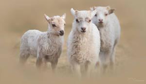 Little Lambs by PaulaDarwinkel