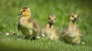 Canada Goslings by PaulaDarwinkel