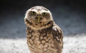 Burrowing Owl by PaulaDarwinkel