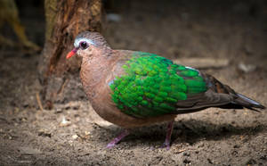 Emerald Dove by PaulaDarwinkel