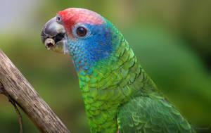 Red-tailed Amazon by PaulaDarwinkel