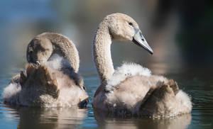 Juvenile Mute Swans by PaulaDarwinkel