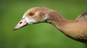 Juvenile Egyptian Goose by PaulaDarwinkel