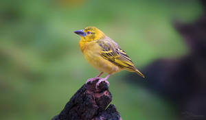 Village Weaver Female by PaulaDarwinkel