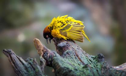 Angry bird by PaulaDarwinkel