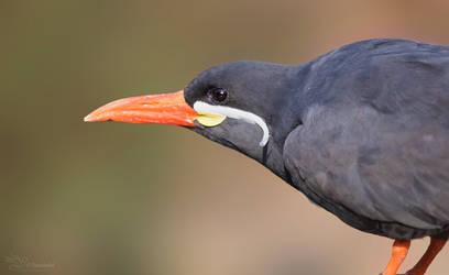Inca Tern by PaulaDarwinkel