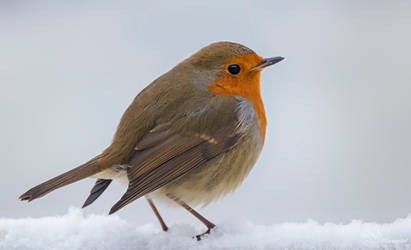 Snowy Robin by PaulaDarwinkel