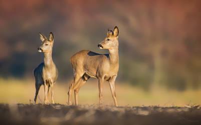 Roe deer by PaulaDarwinkel