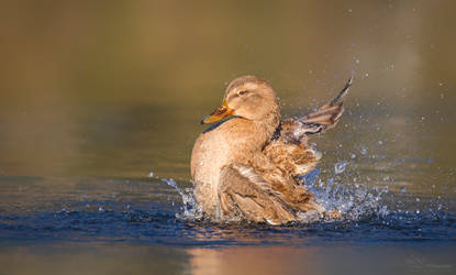 Splashing by PaulaDarwinkel