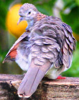 Beautiful Bar-shouldered Dove by LESHA