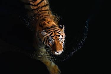 Swimming tiger by AlesGola