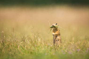 On guard, on duty (Spermophilus citellus) by AlesGola