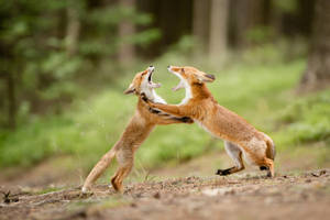 Fighting foxes (Vulpes Vulpes) by AlesGola