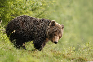 Cautious bear (Ursus Arctos) by AlesGola