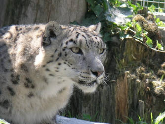 snow leopard by Mystikkat