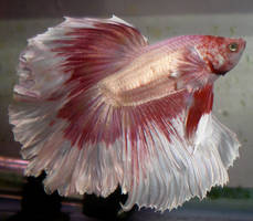 Karma Rosetail Betta by DarkMoon17