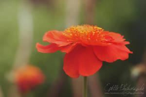 Orange Flower by Estelle-Photographie