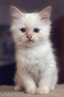 White Kitten 4 by Estelle-Photographie