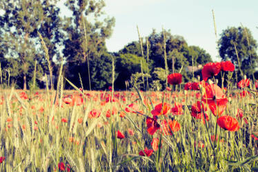 Poppies in a field by malawika